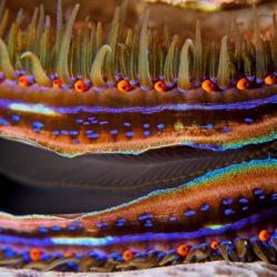 Korallenkammmuschel