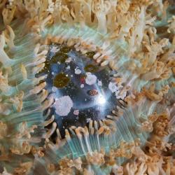 Seemann's Auge (Alge) in Scheibenanemonen