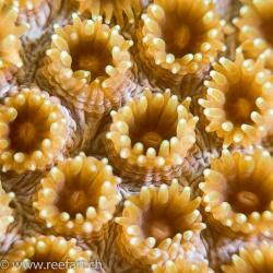 Mikroporenkoralle