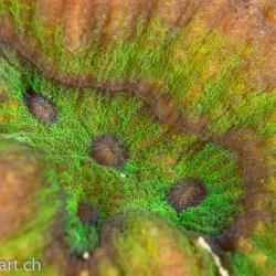 Dicklippen-Doldenkoralle (Lobophyllia sp.)