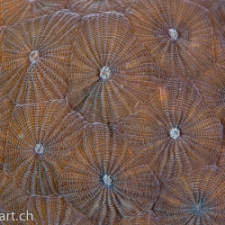 Steinkoralle, verm. Diploastrea heliopora