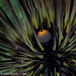Zentrum eines Seeigels