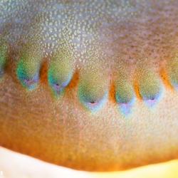 Arielles Halskette - Riesenmuschel