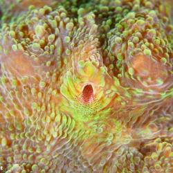 grossporige Steinkoralle mit Krebstierchen