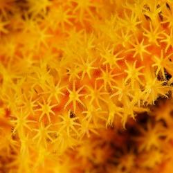 yellow mellow - Seefächer