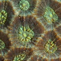 Steinkorallendetail