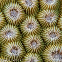 Blumensternkoralle