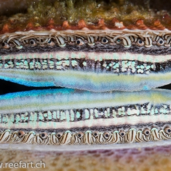 Korallenkamm-Muschel