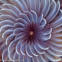 Lila Röhrenwurm