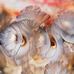 winzige Hufeisenröhrenwürmchen (8 mm)
