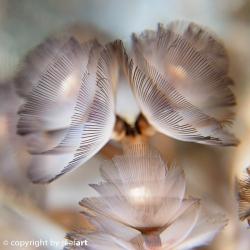 winzige Hufeisenröhrenwürmchen