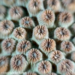 Steinkoralle (Cyphastrea serailia)