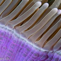 Detail einer Prachtanemone