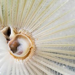 Zentrum eines indischen Röhrenwurms