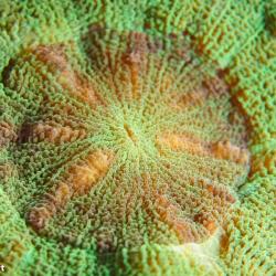 Supermakroaufnahme einer Steinkoralle (2)