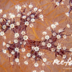 1_softcoral1b