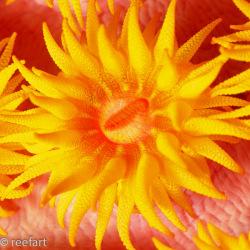 Orange Kelchkoralle
